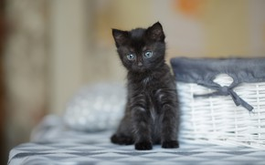 Picture cat, look, kitty, black, baby, muzzle, cute, kitty, basket, bow