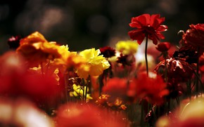 Picture light, flowers, the dark background, bright, colorful, a lot, buttercups, Ranunculus