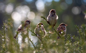 Picture birds, flock, sparrows