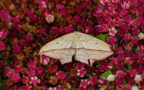 Picture summer, macro, flowers, background, butterfly, wings, insect, pink, moth, buds, a lot, beige
