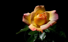 Picture flower, leaves, light, rose, orange, black background, one, yellow