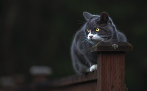 Wallpaper cat, cat, look, face, pose, the dark background, grey, the fence, post, sitting, smoky, yellow ...