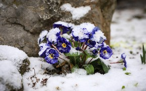 Picture snow, flowers, stones, spring, purple, snowfall, Bush, primrose, it covered