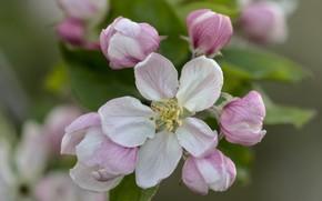 Picture macro, tenderness, Apple