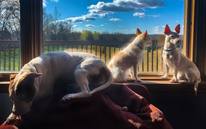 Picture dogs, window, friends, Trinity