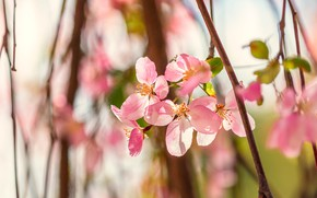 Picture light, flowers, branch, spring, petals, pink, Apple, flowering, bokeh, Apple blossoms