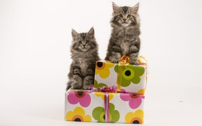 Picture cats, pair, kittens, gifts, box