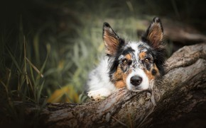 Picture forest, grass, look, face, nature, pose, background, tree, portrait, dog, lies, snag, log, bark, blurred, …