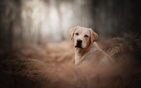 Picture look, dog, fern, bokeh, Labrador Retriever
