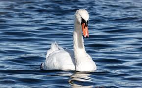Picture white, bird, Swan, pond, blue background
