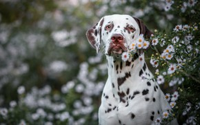 Picture summer, look, face, flowers, nature, background, portrait, dog, Dalmatians, bokeh