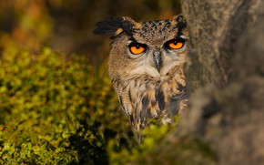 Picture greens, look, leaves, nature, background, tree, owl, bird, Peeps, owl, Golden eyes