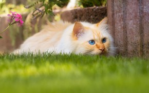 Picture cat, summer, grass, cat, look, face, pose, garden, red, lawn