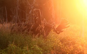 Picture light, nature, moose