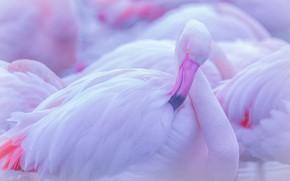 Picture pose, bird, Flamingo, bokeh, pink flamingos