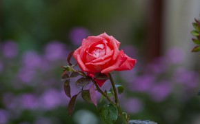 Picture Nature, Flower, Rose, Dew