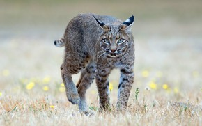 Picture field, grass, look, face, nature, pose, background, paws, meadow, walk, is, lynx, wild cat