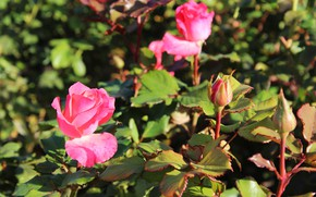 Picture roses, the bushes, autumn
