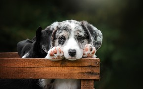 Picture look, background, legs, dog, baby, puppy, box, face, Ekaterina Kikot, Вельш-корги-кардиган