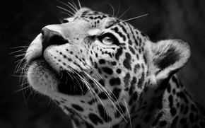 Picture Jaguar, Predator, Animal