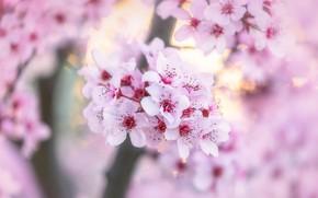 Picture flowers, cherry, blur, spring, Sakura, gentle, pink, flowering, bokeh