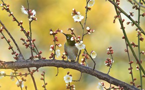 Picture flowers, branches, yellow, nature, green, background, bird, spring, bird, flowering, little, Japanese, bright, spring, baby, …