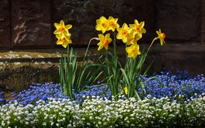 Picture flowers, the dark background, stones, spring, yellow, white, flowerbed, blue, daffodils