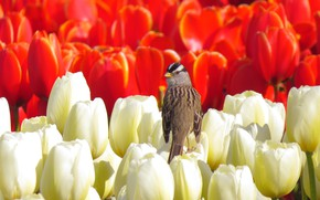 Picture field, bird, spring, tulips