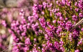Picture flowers, glade, spring, pink, a lot, bokeh, Bush, versek