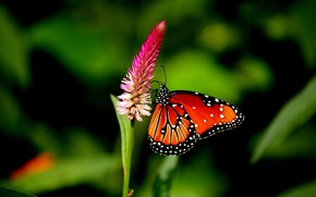 Picture Nature, Flower, Macro, Butterfly