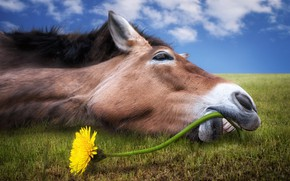 Wallpaper greens, field, flower, the sky, grass, face, clouds, yellow, dandelion, horse, humor, teeth, horizon, lies, ...