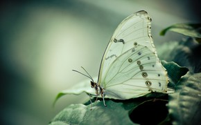 Picture BUTTERFLY, WINGS, LEAVES, WHITE, INSECT
