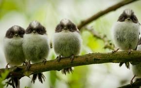 Picture branch, Chicks, Quartet