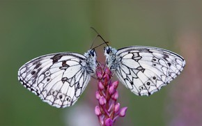 Picture flower, butterfly, pair, mastropasqua Galatea