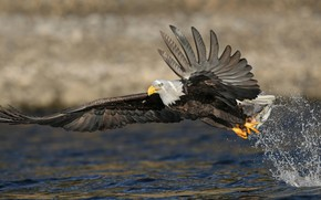 Picture squirt, bird, fishing, fish, pond, the rise, predatory, mining, bald eagle, flap