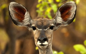 Picture face, background, portrait, ears, bokeh, antelope, Zambia, The kud, Tragelaphus strepsiceros, Kafue