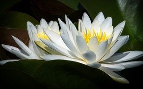 Picture leaves, macro, flowers, Lily, two, petals, white, water lilies, nymphs