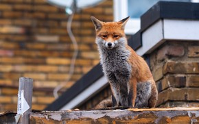 Picture roof, look, house, wall, window, Fox, red, bricks, face, sitting, bokeh