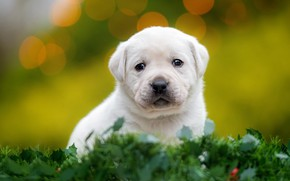 Picture dog, look, puppy, baby, white, leaves, bokeh, muzzle, greens, small, sitting, grass, green background