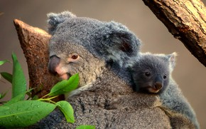 Picture leaves, cub, Koala