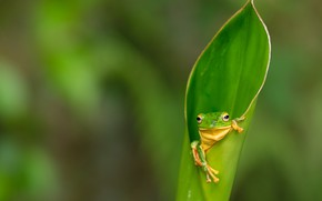 Picture macro, green, leaf, frog, legs, green, blurred background, rolled