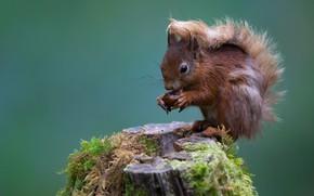 Picture background, moss, stump, walnut, protein, squirrel