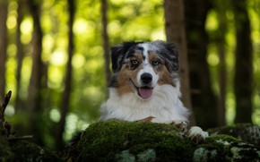 Picture forest, face, green, background, portrait, dog, Aussie