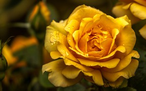 Picture flower, drops, macro, rose, yellow