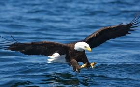 Picture flight, bird, wings, bald eagle