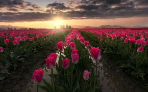 Picture field, the sun, rays, landscape, flowers, nature, tulips, USA