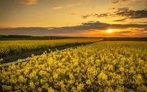 Picture sunset, spring, rape