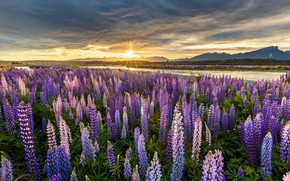 Picture field, the sky, the sun, sunset, flowers, river, New Zealand, lupins