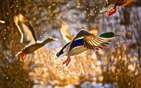 Picture DROPS, FLIGHT, SQUIRT, BIRDS, PAINTING, DUCK, САМЕЦ
