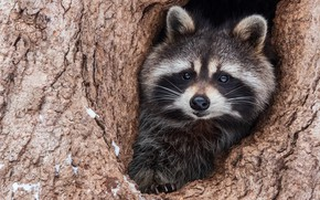 Picture look, face, tree, portrait, raccoon, the hollow